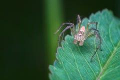 Jumper spider on green leaf Stock Image