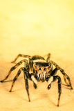 Jumper Spider Stock Photo