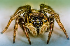 Jumper Spider Royalty Free Stock Image