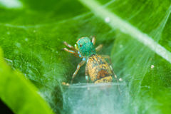 Jumper spider Royalty Free Stock Photography