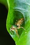 Jumper spider Stock Image