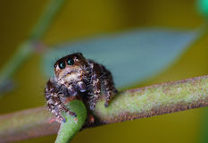Jumper Spider. Is one of common spider can be found Royalty Free Stock Photos
