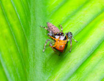 Jumper spider and prey Royalty Free Stock Image