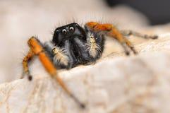 Jumper spider, Red jumper spider Stock Image