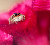 Jumper Spider. A jumper spider resting on the petal of a red flower Royalty Free Stock Photography