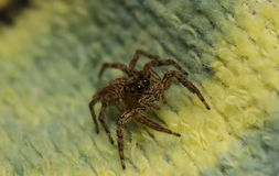 Jumping spider on the fabric Royalty Free Stock Images