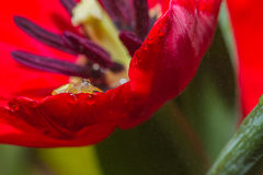Jumper spider on tulip flower Royalty Free Stock Image