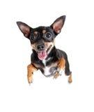 Jumpimg Flugwesen-Spielzeugterrierhund oder Draufsicht Stockfotografie