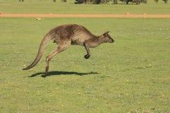 Jumpin袋鼠 库存图片