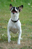 Jumpin' Jack 3. Jack Russel Terrier jumping for ball and treats Stock Photo