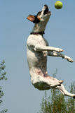 Jumpin' Jack 4. Jack Russel Terrier jumping for ball and treats Royalty Free Stock Photo