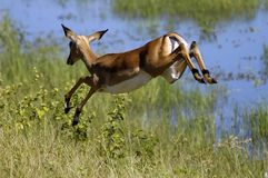 Jumpinb Impala. Impala running away from us Royalty Free Stock Images