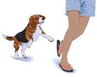 Jumpiness beagle Royalty Free Stock Image