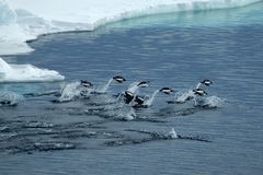 Jumping Adelie penguins Royalty Free Stock Images