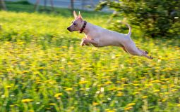 Jumping American Hairless Terrier on green lawn background Stock Images