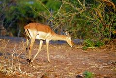 Jumping antelope Stock Image