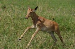 Jumping antelope. Jump of a baby antelope captured during safari Stock Photos