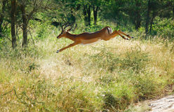 Jumping antelope Stock Images