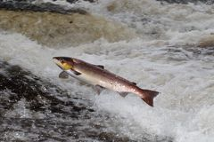 Jumping Atlantic Salmon Stock Photo