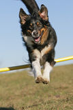 Jumping Aussie Stock Photos