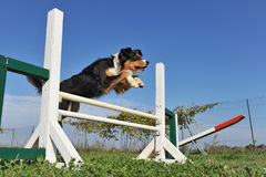Jumping australian shepherd Stock Photo