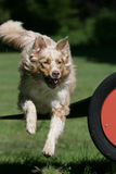 Jumping Australian shepherd Royalty Free Stock Photography