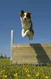 Jumping australian shepherd Stock Photos