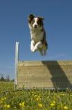 Jumping australian shepherd Stock Photos