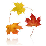 Jumping Autumn Leaves. Floating Isolated Autumn Leaves on white background Stock Photo