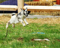 Jumping Baby Goat Royalty Free Stock Image