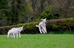 Jumping Baby Lamb. A baby lamb jumps out of the photo as his friends look on royalty free stock photo