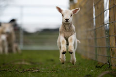 Jumping Baby Lamb. A baby lamb jumps out of the photo as his mother looks on stock image