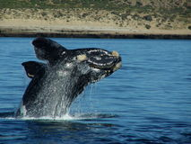 Jumping Southern Right Baby Whale stock image