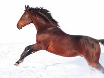 Jumping bay horse at freedom Royalty Free Stock Photos