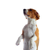Jumping beagle dog isolated on white Stock Photography