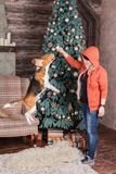 Jumping beagle dog with it`s female owner near New Year tree. Young woman with pretty Beagle dog near New Year tree. Obedient pet with his owner practicing jump Royalty Free Stock Image