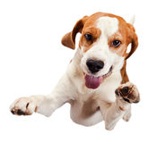Jumping beagle Royalty Free Stock Photo