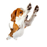 Jumping beagle isolated on white Royalty Free Stock Images