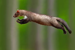 Jumping beech marten, small opportunistic predator, nature habitat. Stone marten, Martes foina, in typical european forest environ. Jumping beech marten, small Royalty Free Stock Images