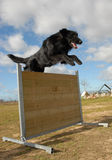 Jumping Belgian shepherd Stock Photo