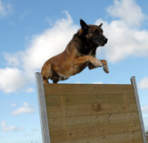 Jumping Belgian shepherd Royalty Free Stock Photography
