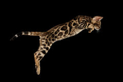 Jumping Bengal Kitty with wild fur Isolated Black Background Stock Image