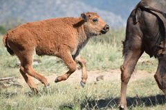 Jumping Bison buffalo calf. A bison calf runs and jumps behind its mother Royalty Free Stock Photo