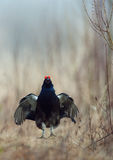 Jumping Black Grouse Royalty Free Stock Photo