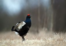 Jumping Black Grouse Royalty Free Stock Photography
