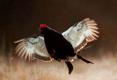 Jumping Black Grouse Stock Photo
