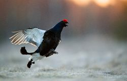 Jumping Black Grouse Royalty Free Stock Images