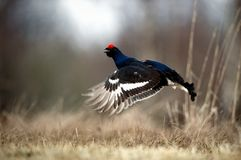 Jumping Black Grouse Stock Images