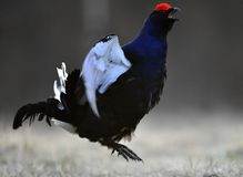Jumping black grouse (Tetrao tetrix). Stock Photography