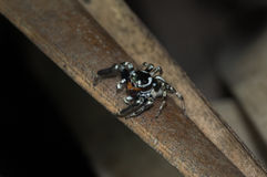 Jumping black spider in rain forest Stock Photos